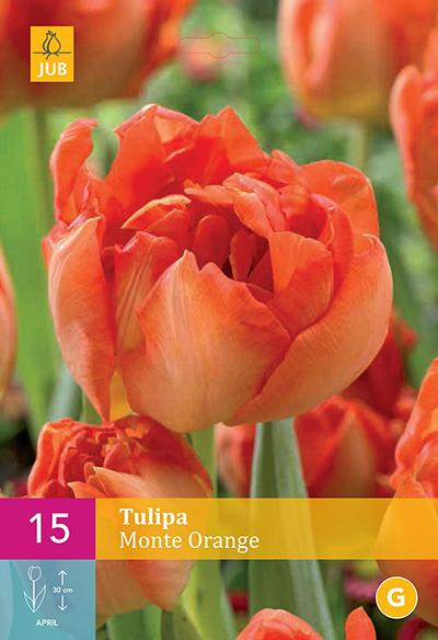 Tulp Monte Orange