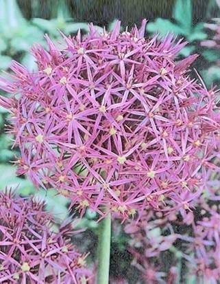 Allium Albopilosum Cristophii