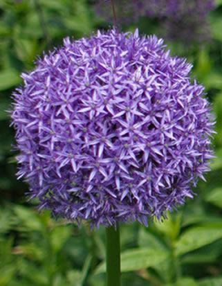 Reuzen Allium Globemaster