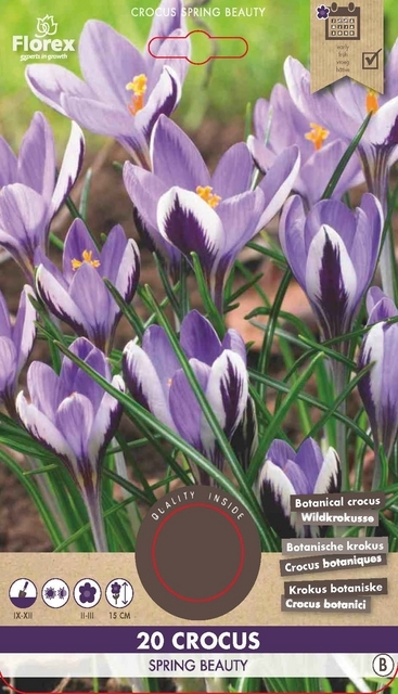 Krokus Spring Beauty