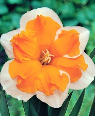 Narcis Orangerie