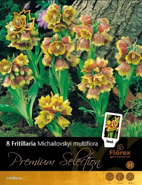 Fritillaria Michailovsky multiflora