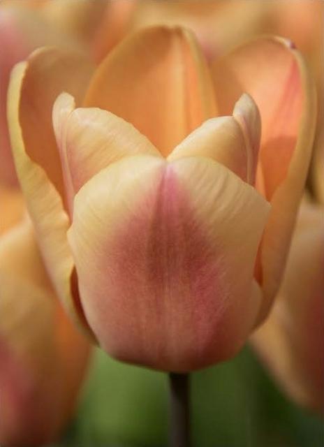 Tulpen Apricot Foxx