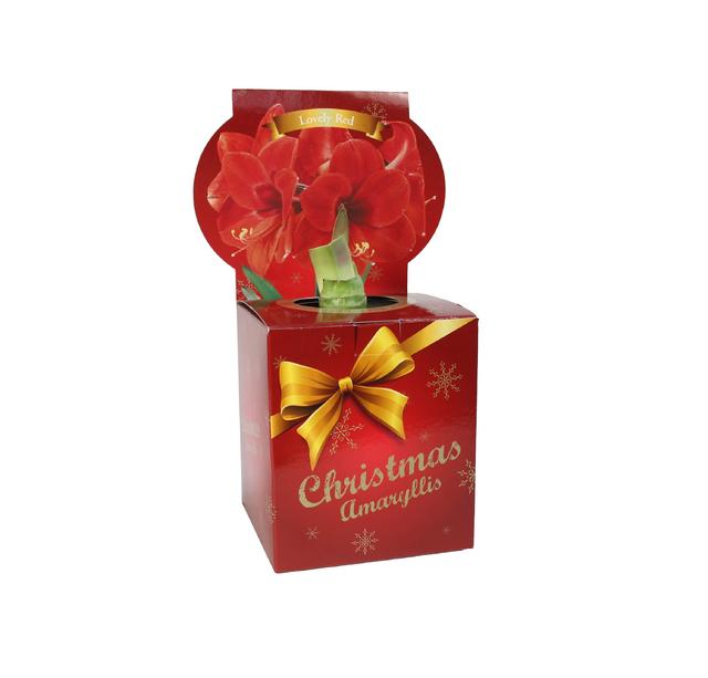 Kerstmis Amaryllis Rood