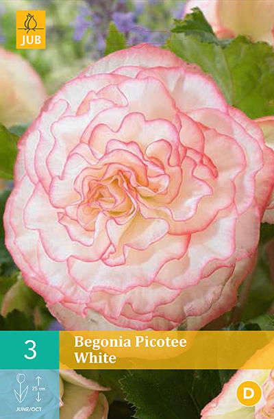 Begonia White Picotee