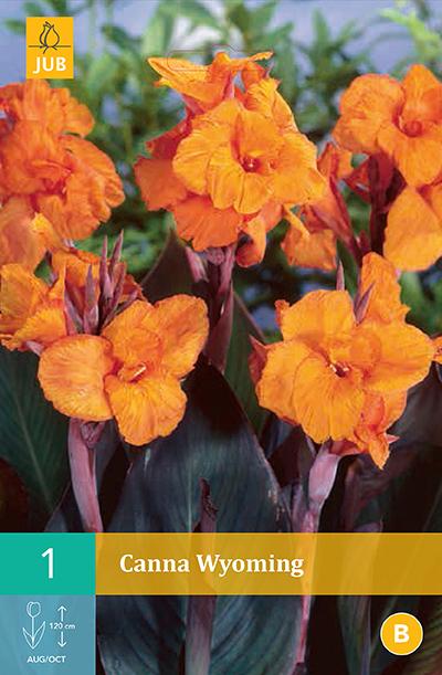 Canna Wyoming Oranje