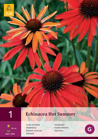 Echinacea Purpurea Hot Summer