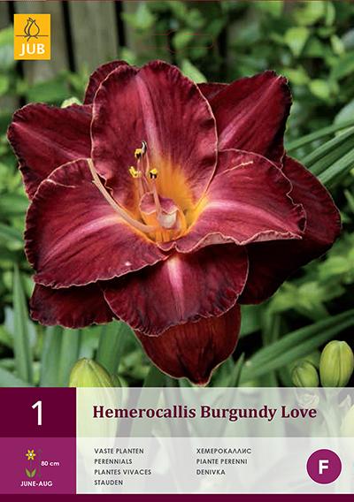 Hemerocallis Burgundy Love