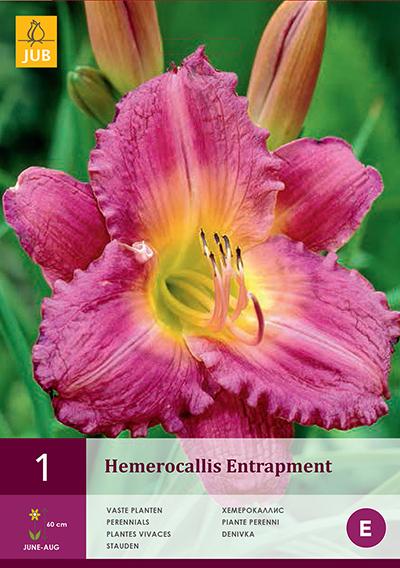 Hemerocallis Entrapment