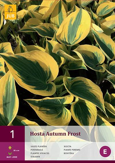 Hosta Autumn Frost