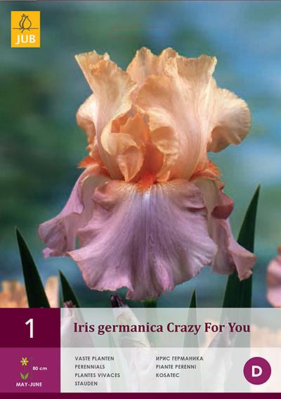 Iris Germanica Crazy for You