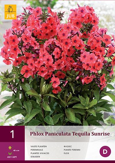 Phlox Tequilla Sunrise