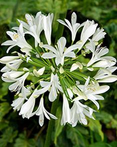 Agapanthus Wit (Voordeelpakket)