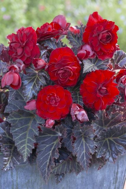 Begonia Switzerland - Begonia donkerbladig