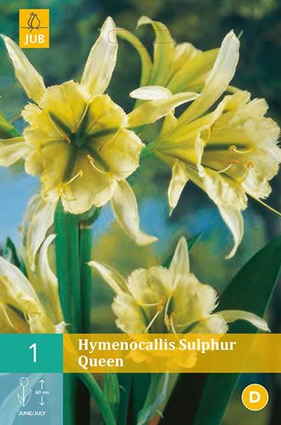 Hymenocallis Sulphur Queen - Ismene