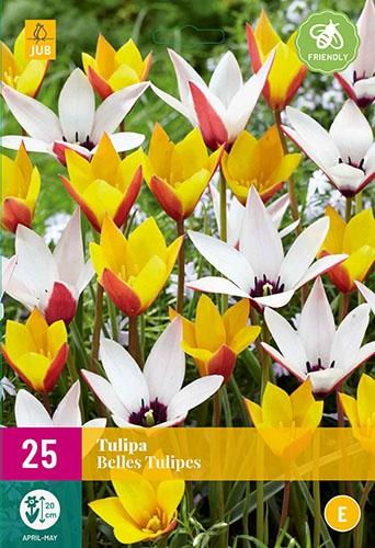 Tulp Belles Tulipes - Lady Tulip