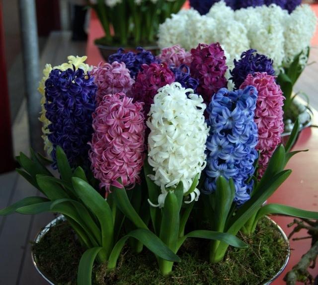 Hyacinten Fantasie Mix - Hyacinthus