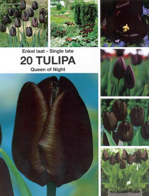 Tulp Queen of Night