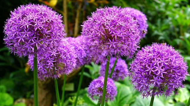 Allium Giganteum - Sierui