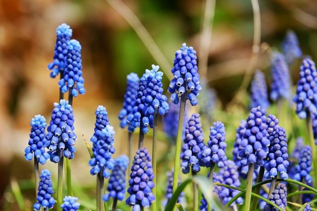 Blauwe Druifjes Armeniacum - Muscari (Grootverpakking)