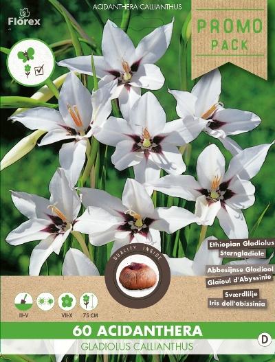 Abessijnse Gladiool (Gladiolus Murielae)
