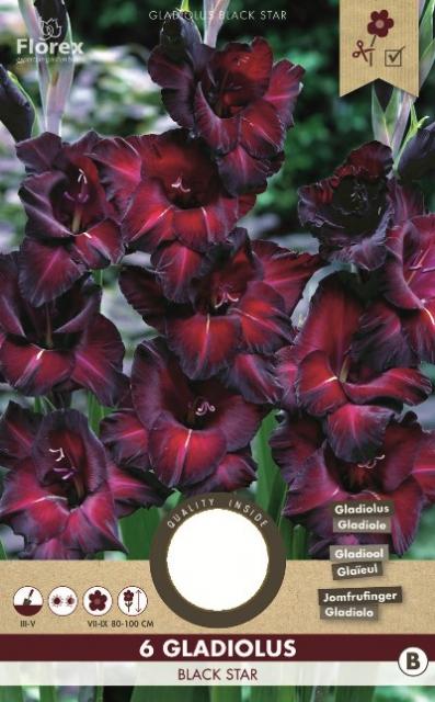 Gladiolen Black Star