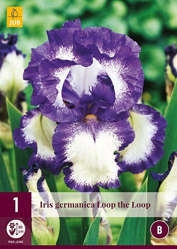 Iris Germanica Loop the Loop