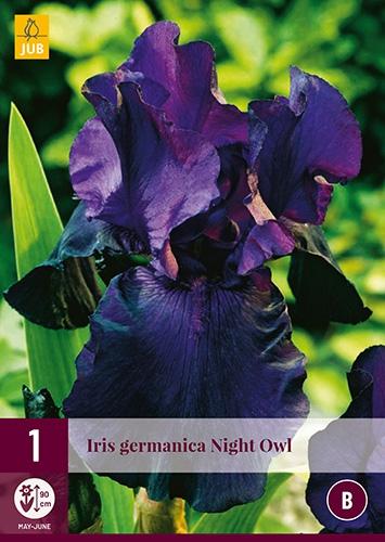 Iris Germanica Night Owl
