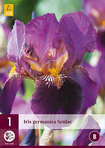 Iris Germanica Senlac