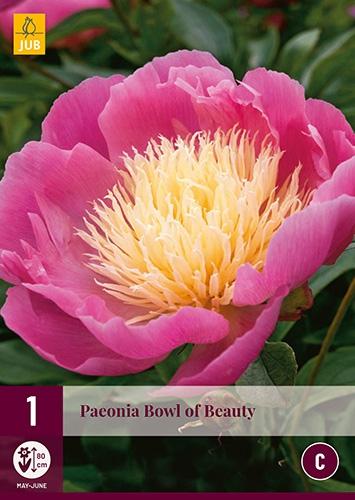 Pioenroos Bowl of Beauty - Paeonia