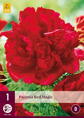 Pioenroos Red Magic - Paeonia