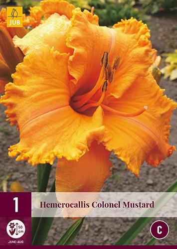 Hemerocallis Colonel Mustard