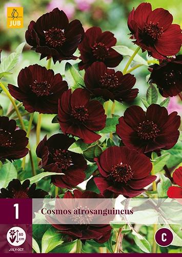 Chocolade Cosmos (Cosmos Atrosanguineus)