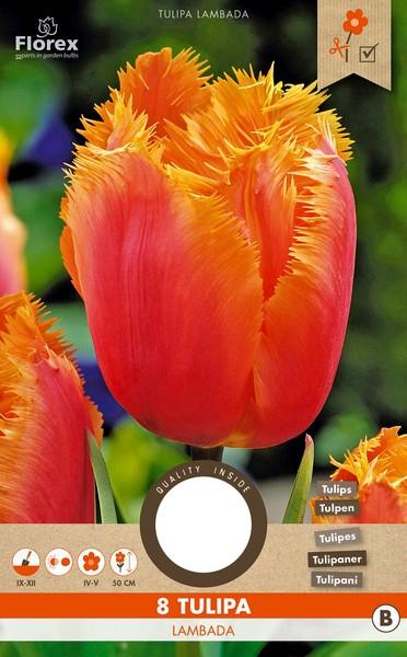 Tulp Lambada - Tulipa Crispa