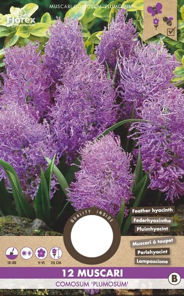 Muscari Comosum Plumosum - Pluimhyacint