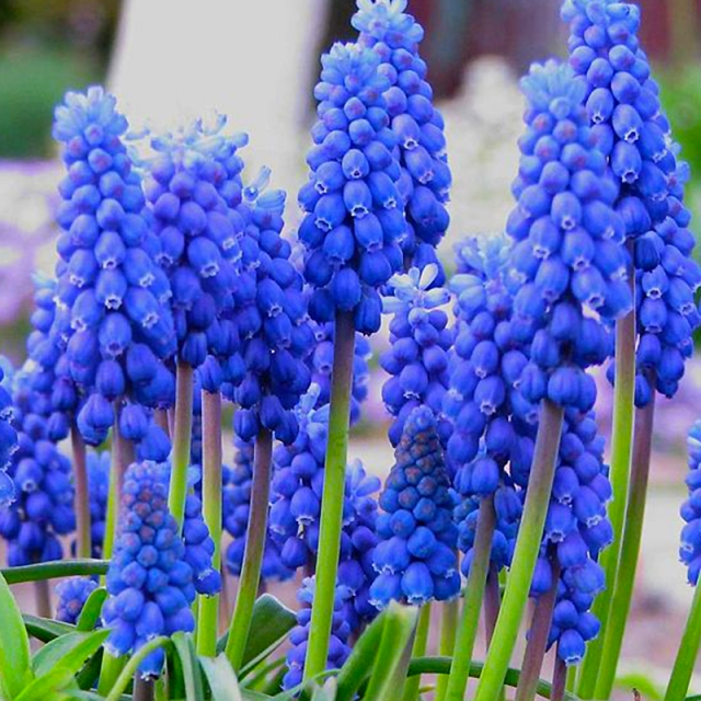 Blauwe Druifjes Armeniacum - Muscari (XL-Verpakking)
