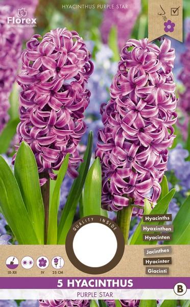 Hyacint Purple Star - Hyacinthus
