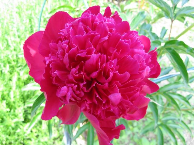 Pioenroos Rood/roze - Paeonia
