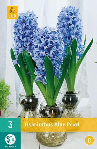 Hyacinthus Blue Pearl - Hyacint voor kamercultuur