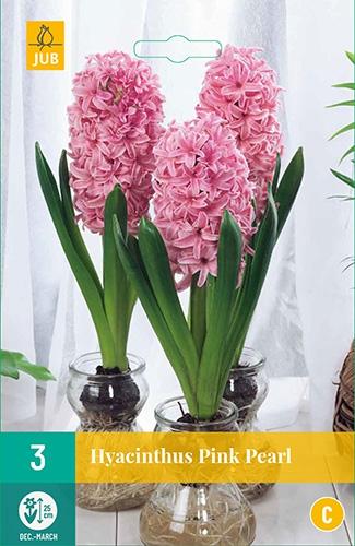 Hyacinthus Pink Pearl - Hyacint voor kamercultuur