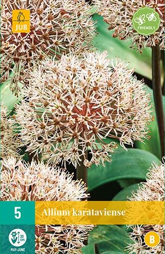 """Allium Karataviense â"""" Sierui"""