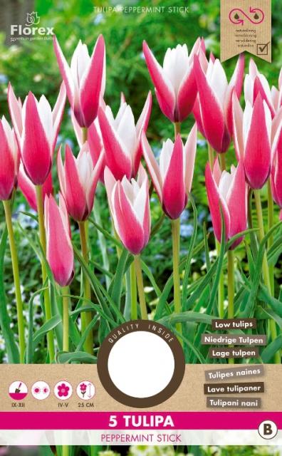 Tulp Peppermint Stick