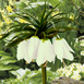 Fritillaria Imperialis Early Romance