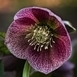 Lenteroos 'Red Spotted' (Helleborus)
