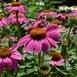 Roze Zonnehoed 'Pink Pearl' (Echinacea)