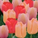 Tulp Mango Dream Mix