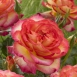 Rosa Two Colors - Rozen