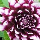 Dahlia Decoratief Mystery Day