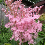Filipendula Rubra Venusta - Queen of the prairie