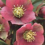 Helleborus Orientalis Potplant Kopen Online Bestellen Voor 499